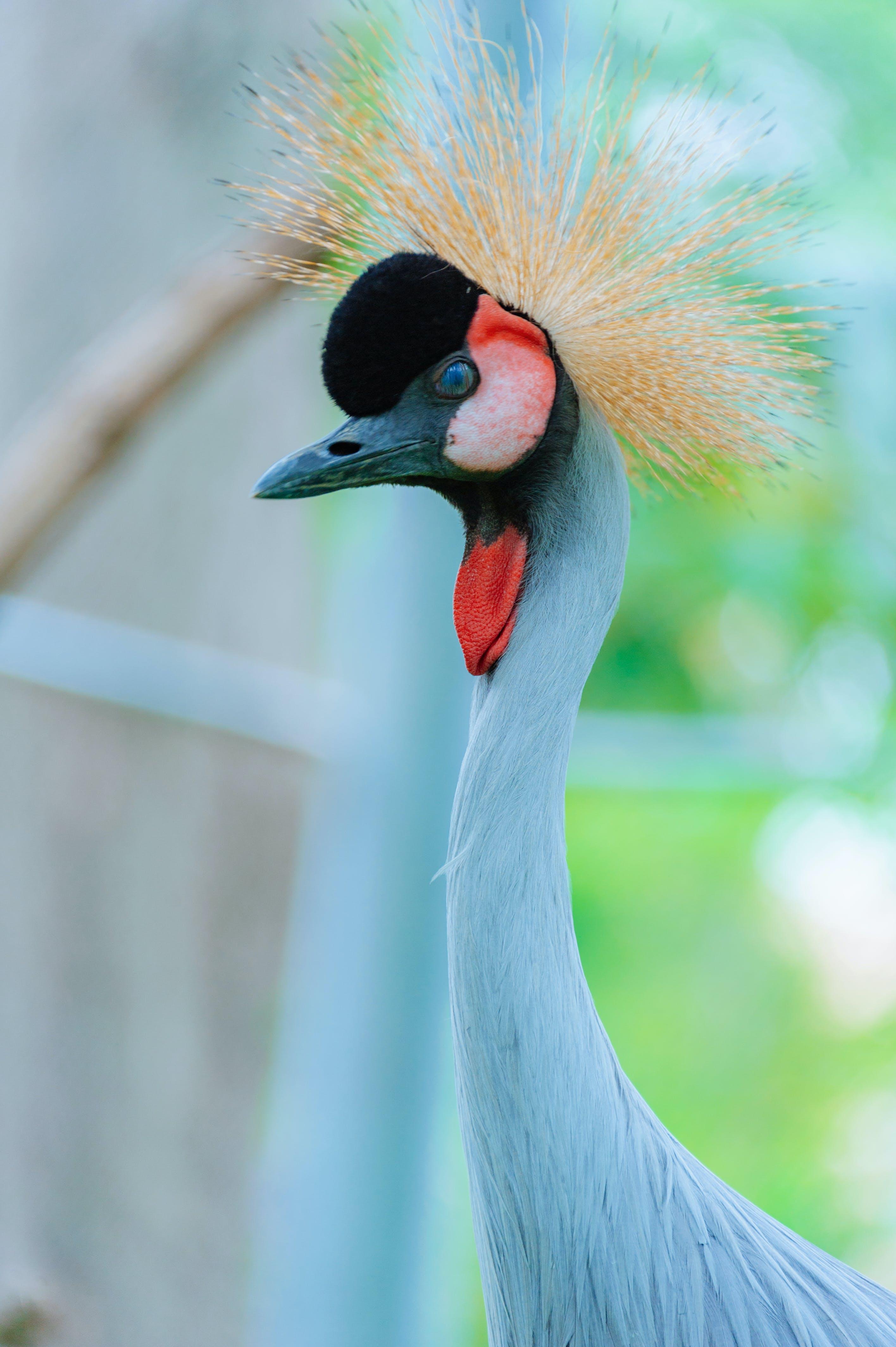 Wildlife Photography of Blue Goose