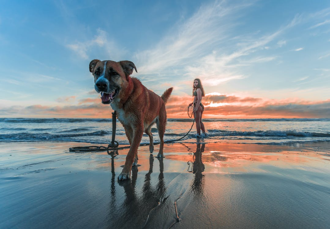 Woman Wearing Bikini Walking on Beach Shore With Adult Brown and White Boxer Dog during Sunset