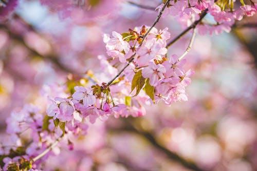 คลังภาพถ่ายฟรี ของ กลีบดอก, การเจริญเติบโต, กำลังบาน, ดอกซากุระ