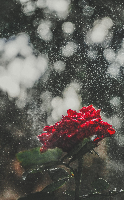 Free stock photo of flower, rain, rose, water