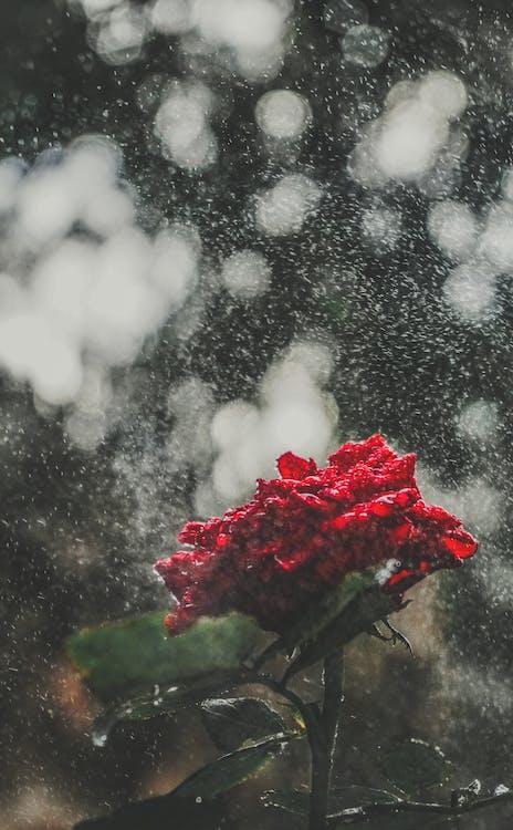 flower, rain, rose