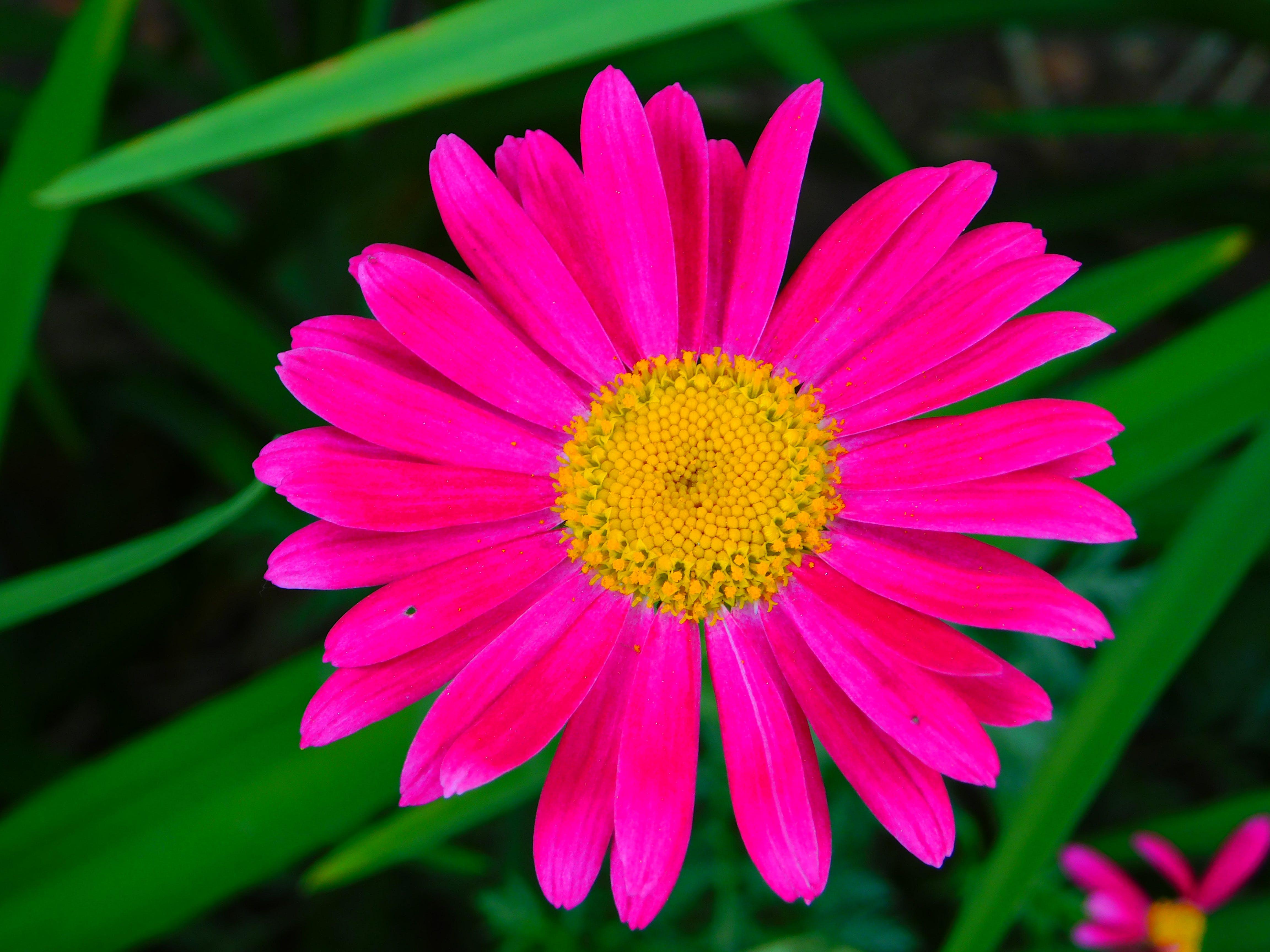beauty of the bloom, macro, pink daisy