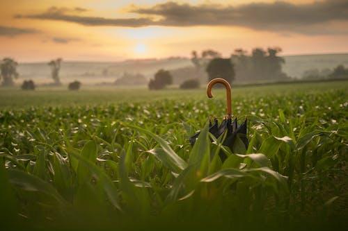 黃金時段在玉米田上的黑傘