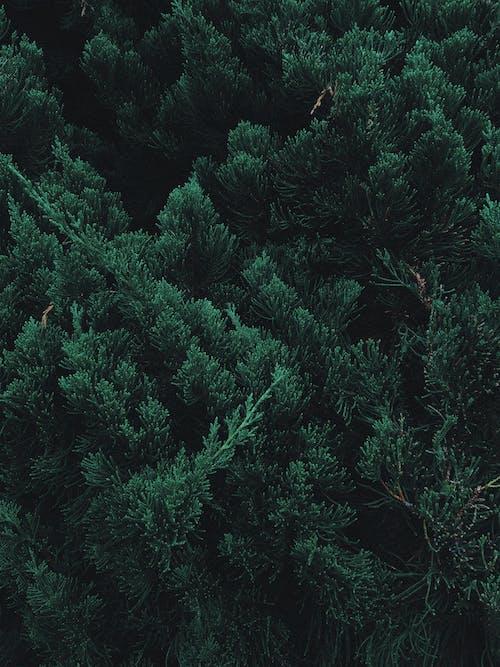 Foto stok gratis bagus, hijau, hijau abadi, konifer