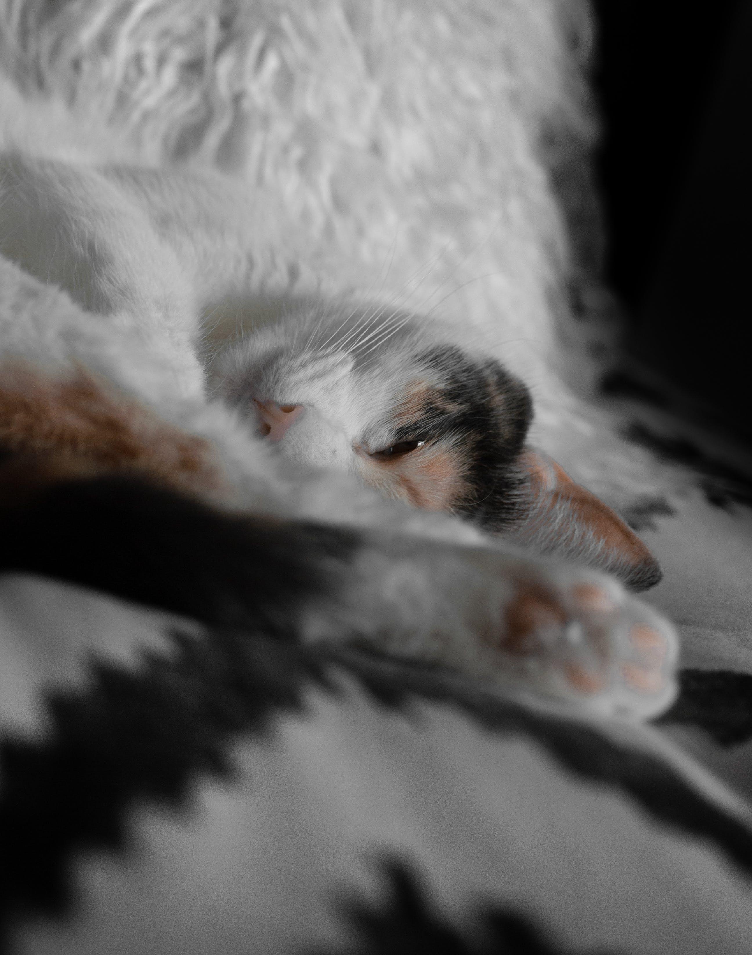 Free stock photo of bed, fur, white, black