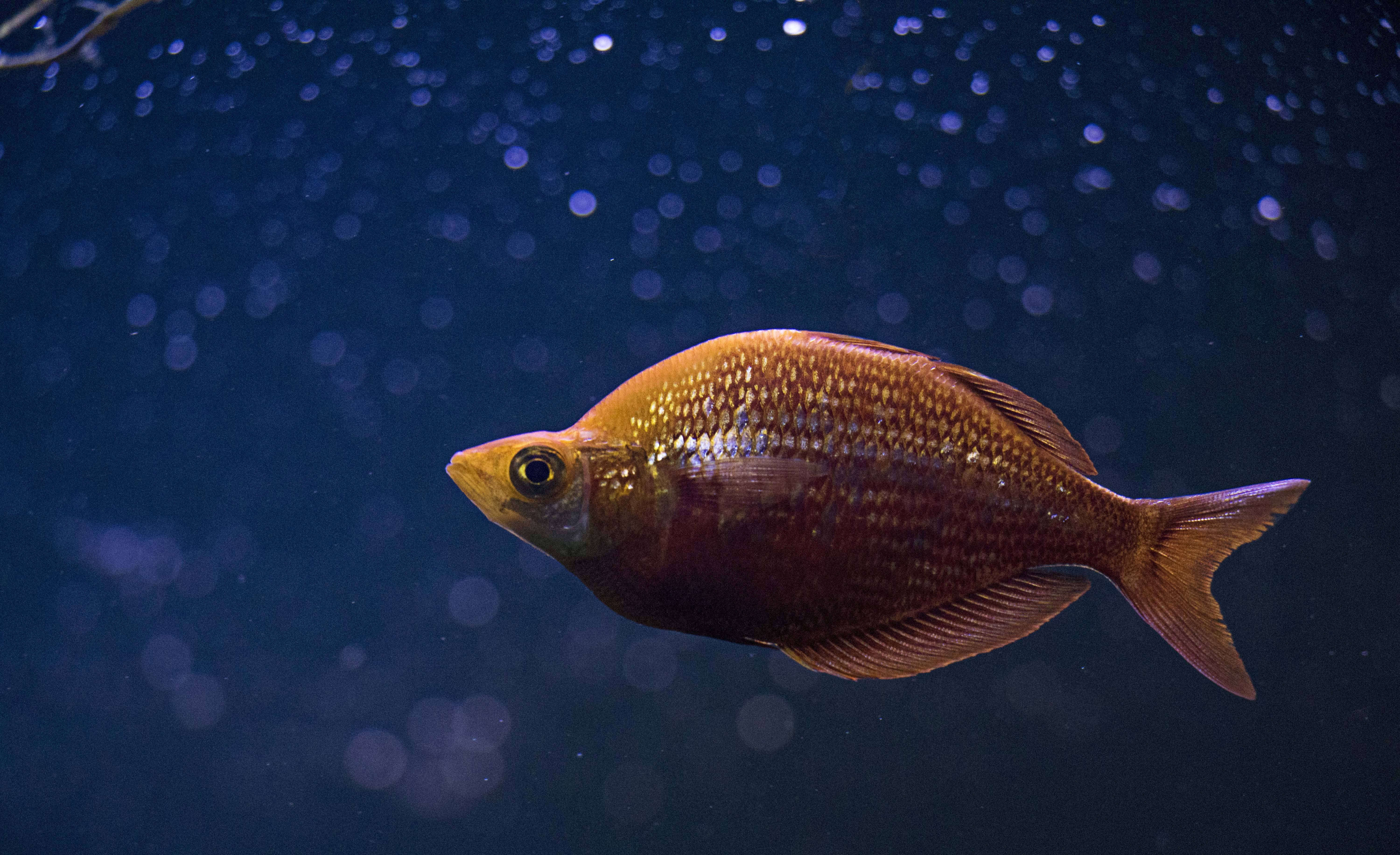 Orange Cichlid Fish in Middle of Blue Water