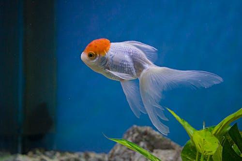 Kostnadsfri bild av akvarium, apelsin, aqua, ensam