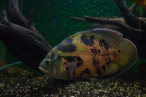 Kostnadsfri bild av akvarium, apelsin, djup, djur