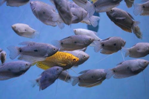 Kostnadsfri bild av akvarium, blå, ensam, fenor