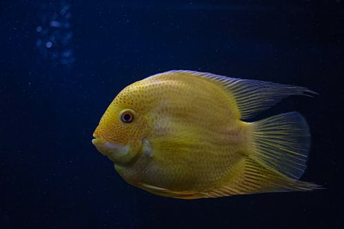 Yellow Fish in Close-up Photography