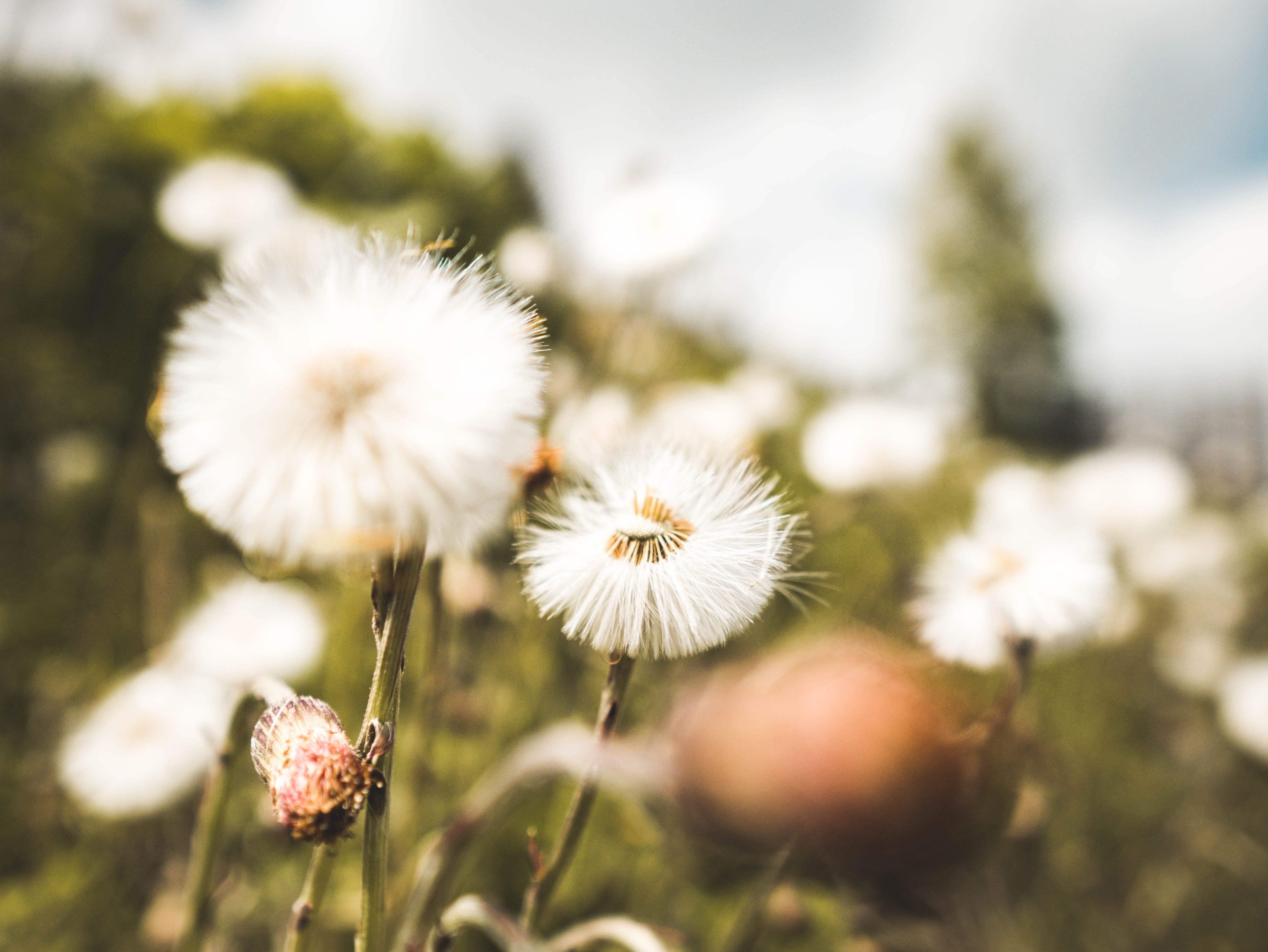 Selective Focus Photography of a Dandelion