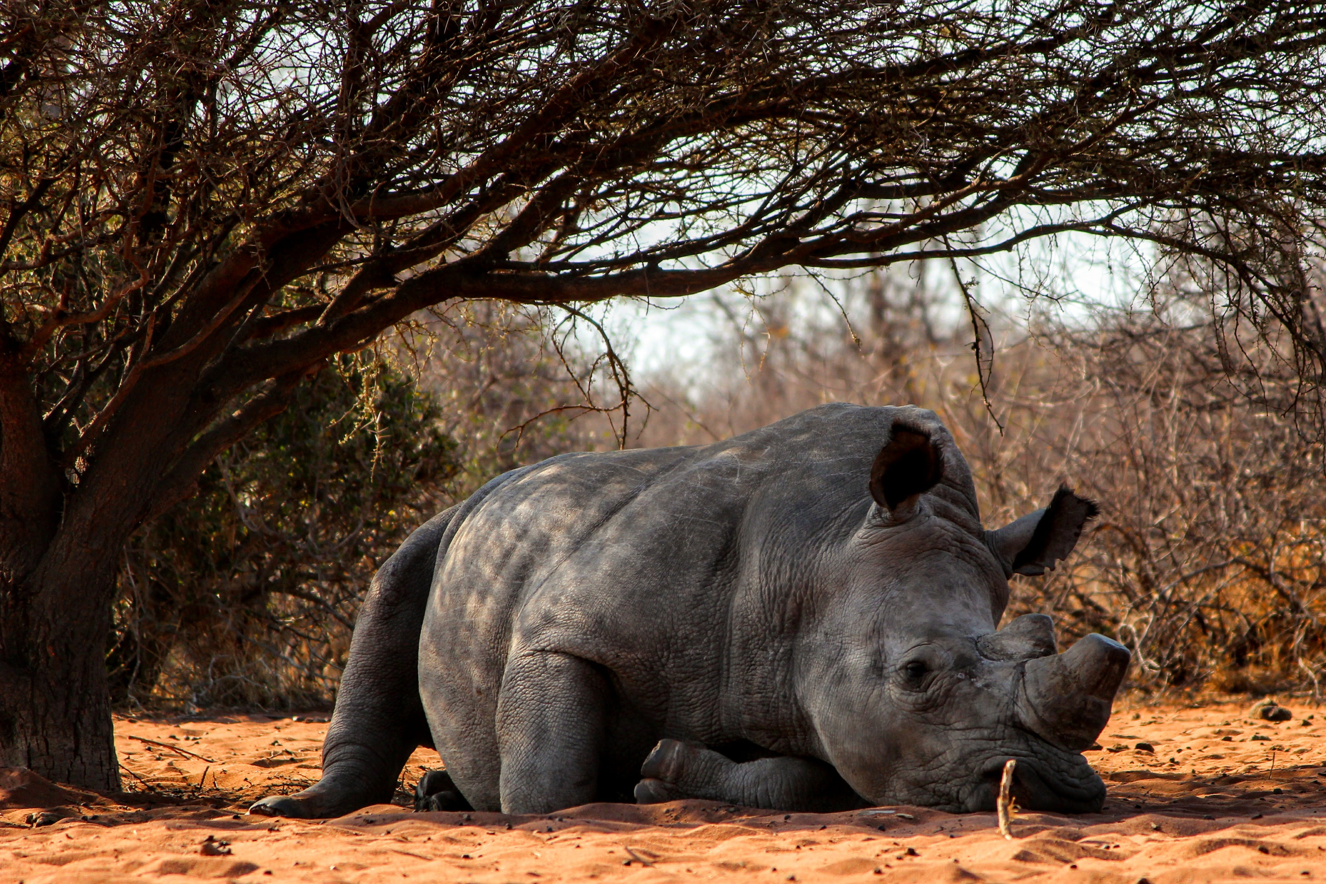 Rhino Lying on Ground Near Tree
