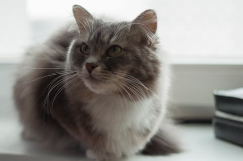 Free stock photo of cat, fur, gray