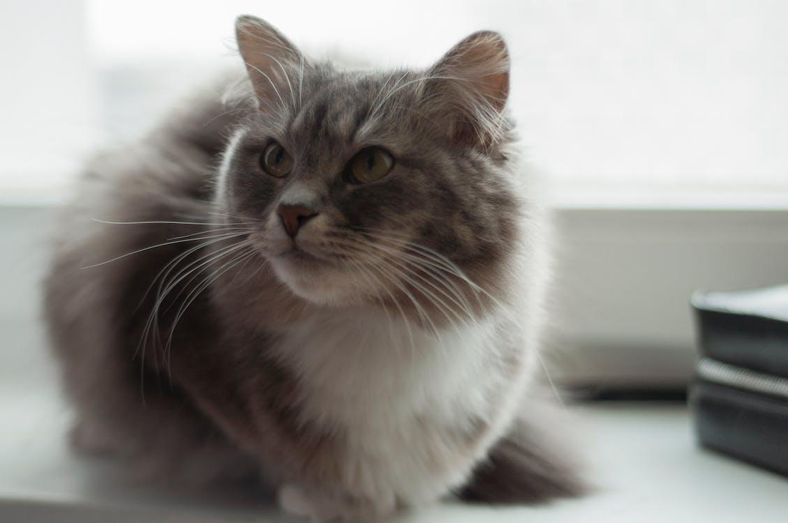 kočka, kožešina, šedý