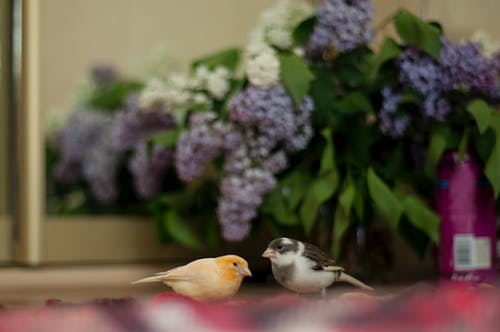 Free stock photo of canary, lilac
