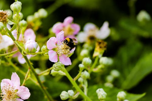 Black and Brown Bee on Pink Flower Selective Focus Photography