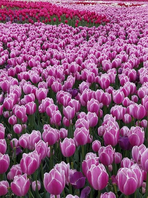 チューリップ, ピンクのチューリップ, ピンクの花, フラワーズの無料の写真素材