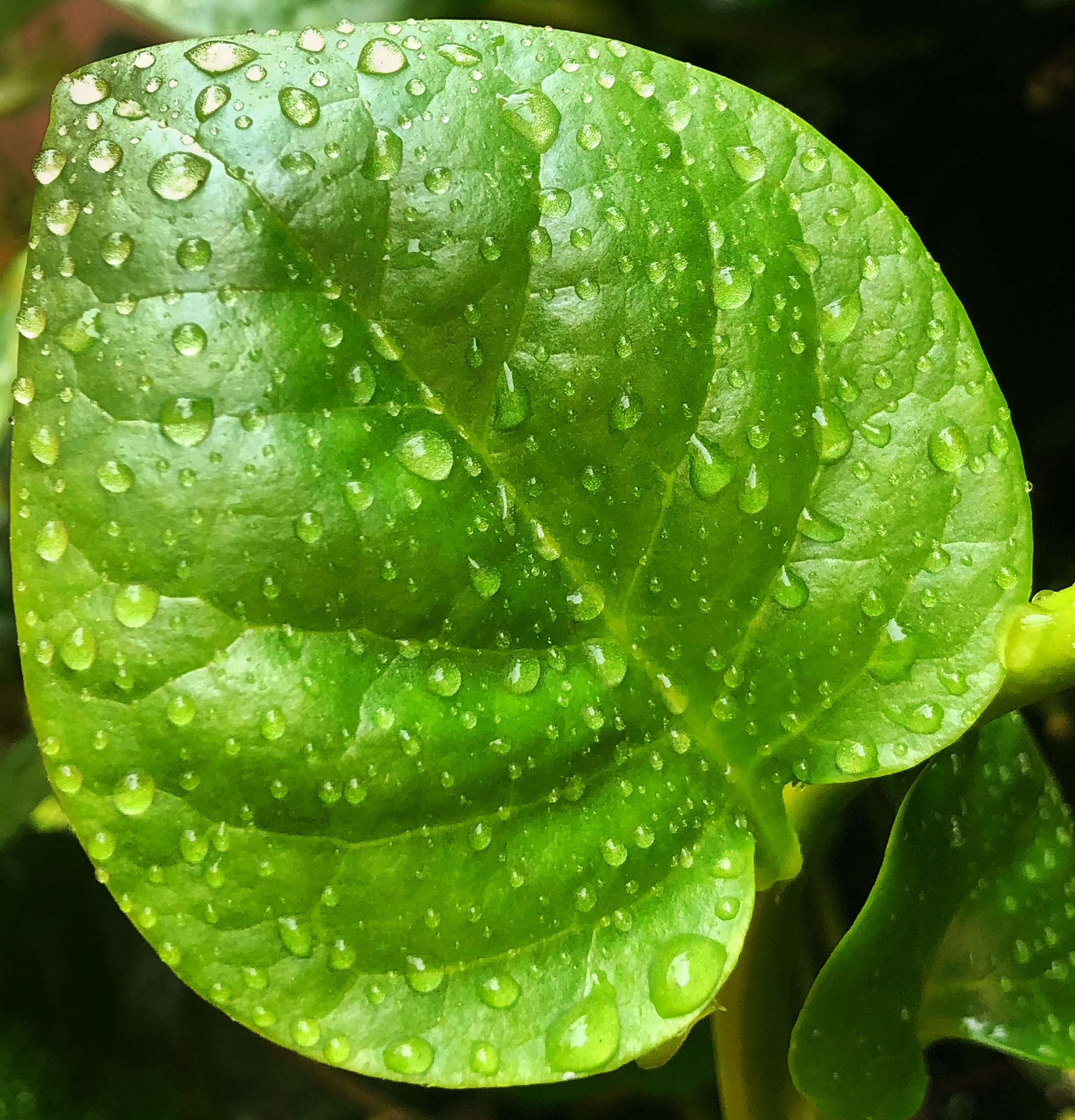 Free stock photo of green leaf, raindrops