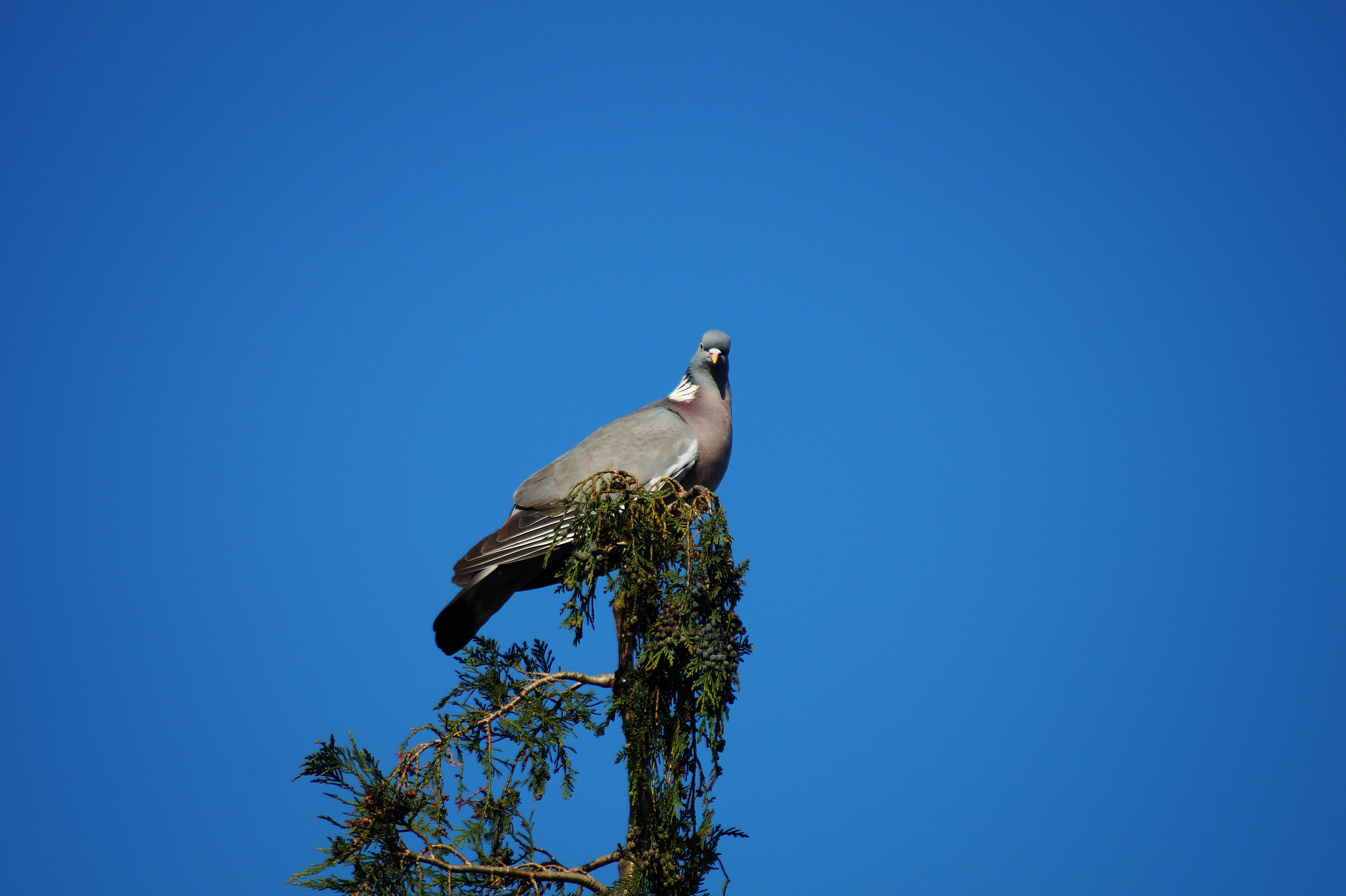 Gray Pigeon on Top of Wood
