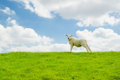 White Sheep on Green Grass Field