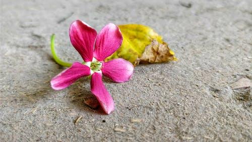 Бесплатное стоковое фото с красивые цветы, розовый цветок, сухой лист