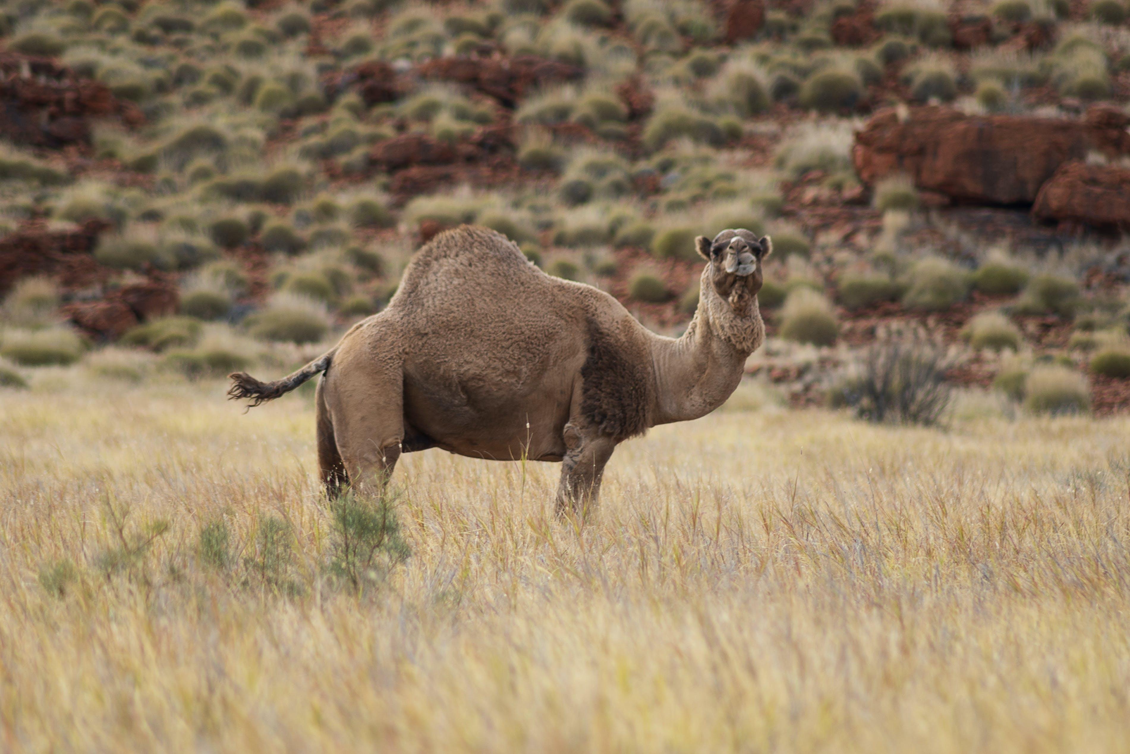 animals, australia, camel
