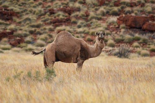 Avustralya, deve, develer, hayvanlar içeren Ücretsiz stok fotoğraf