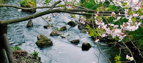 Free stock photo of art, japan, sakura