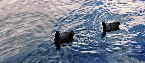 Free stock photo of art, ducks, flow