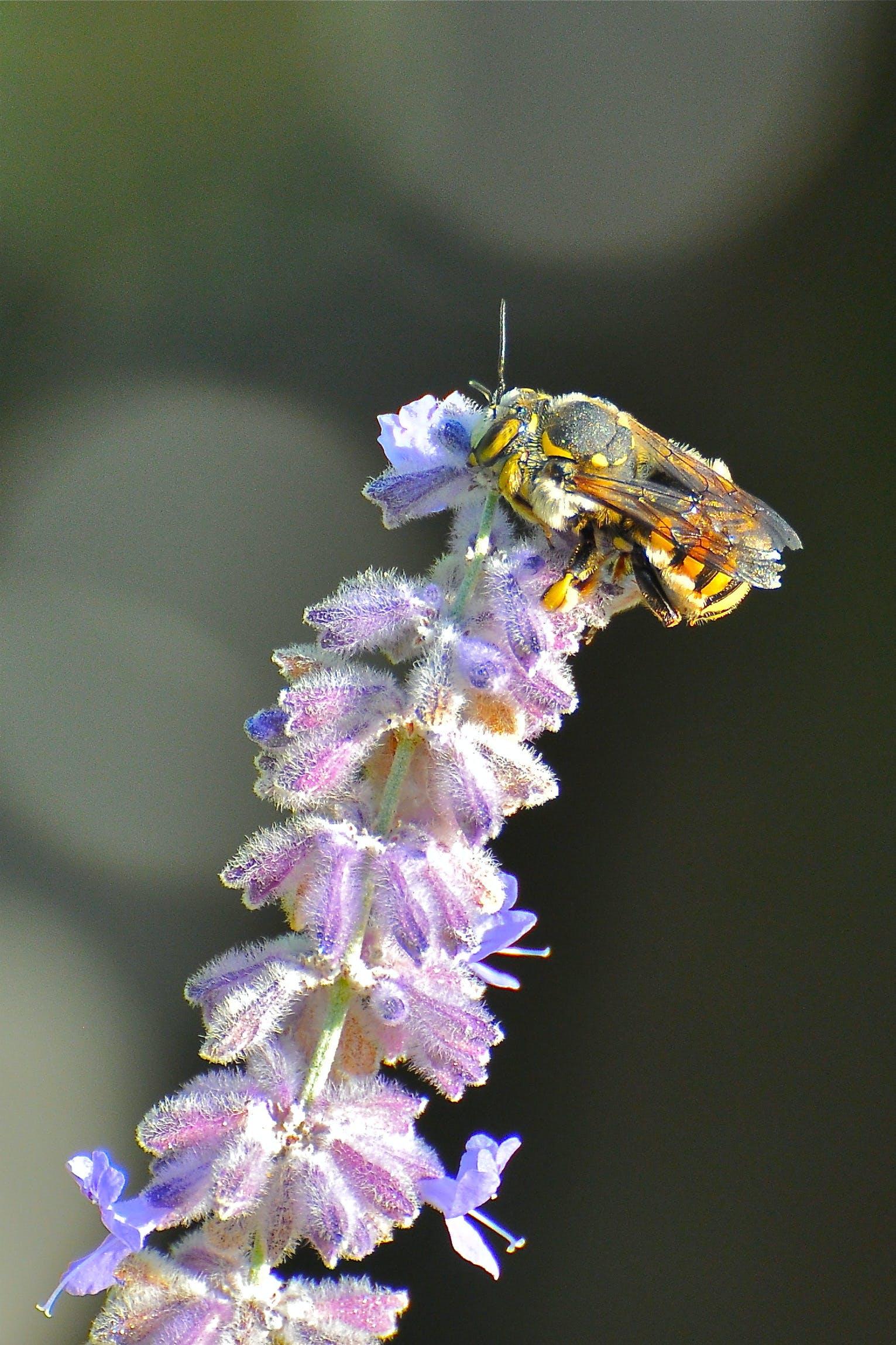 Безкоштовне стокове фото на тему «Бджола, квітка, любов бджоли»