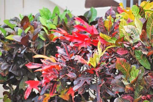 Δωρεάν στοκ φωτογραφιών με διακοσμητικό φυτό, πολύχρωμα φύλλα, πολύχρωμα φυτά, πτώση φύλλων