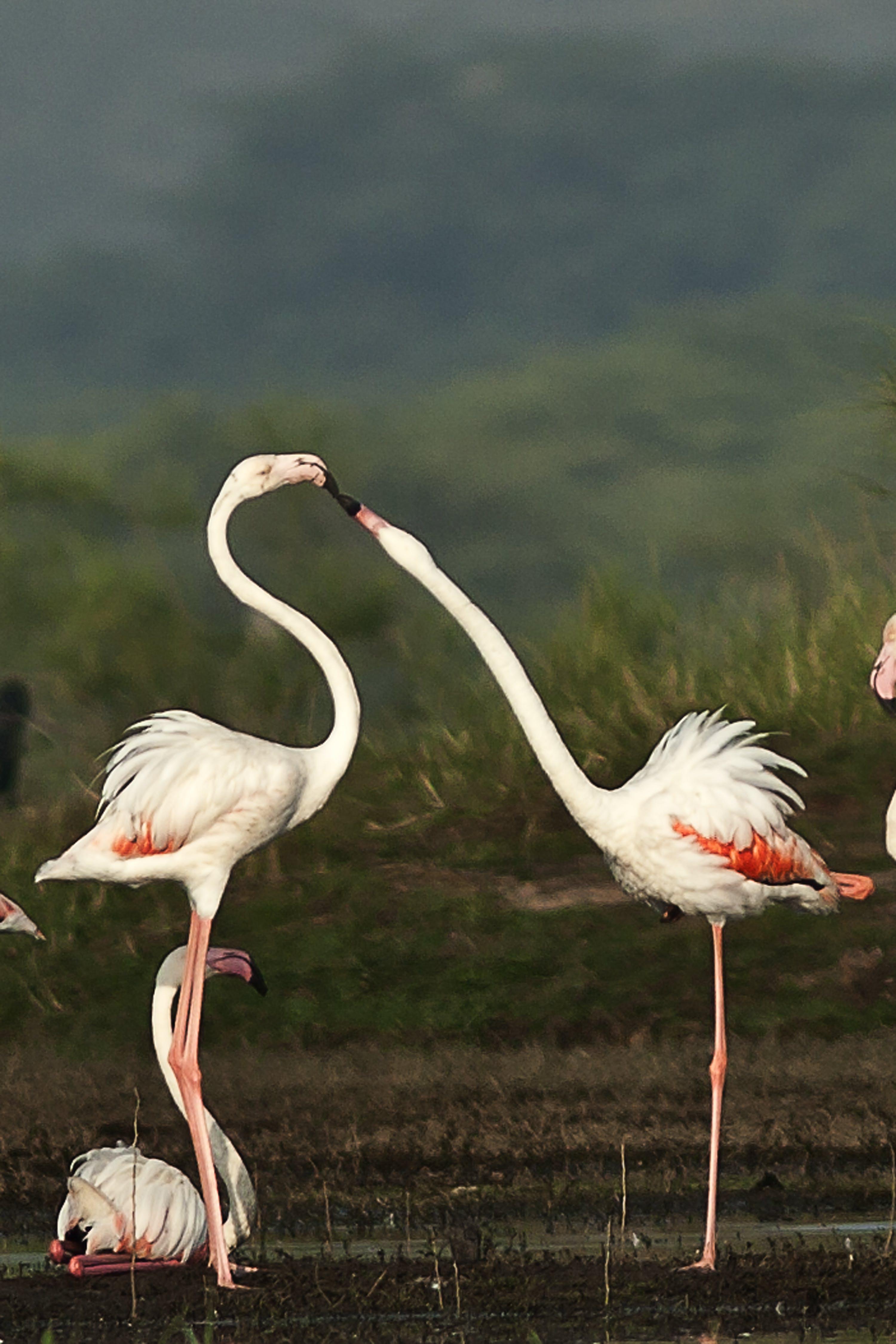 Macro Shot of White-and-red Flamingos