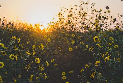 1000 amazing field of flowers photos pexels free stock photos yellow daisy flower field mightylinksfo