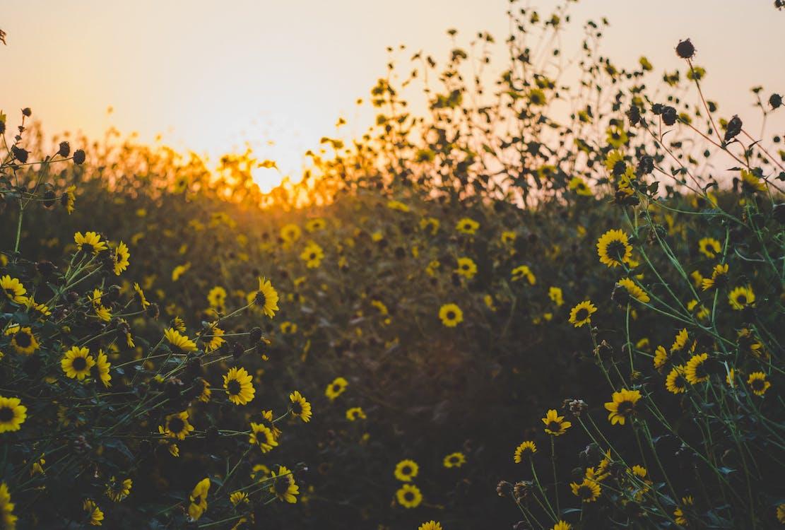 Yellow Daisy Flower Field