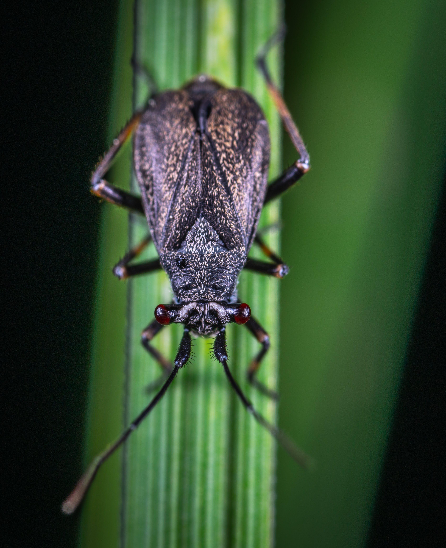 Brown Cricket on Green Leaf