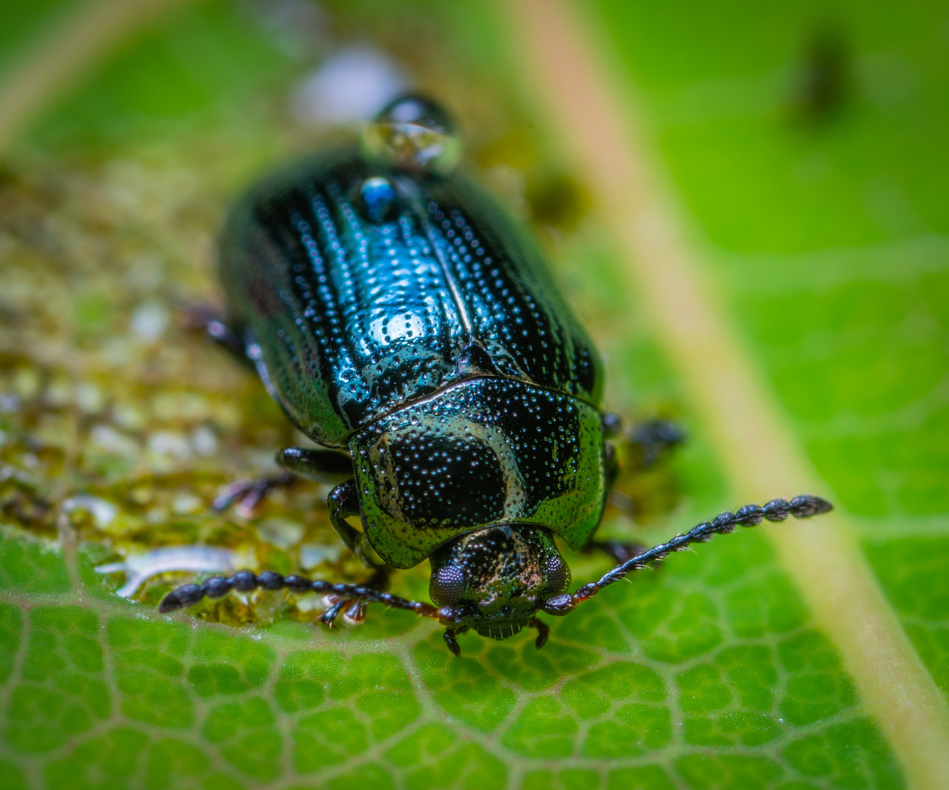Green and Black Ground Beetle on Leaf