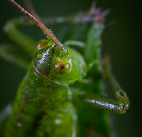 Macro Photography of Green Grasshopper