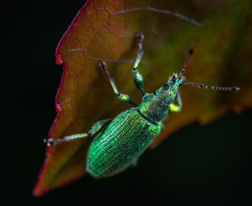 Green Metallic Weevil on Green Lead Macro Photography
