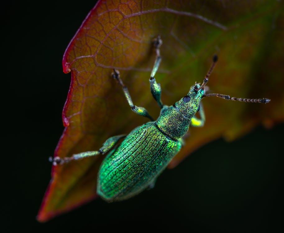 animal, animale parazit, automobil beetle