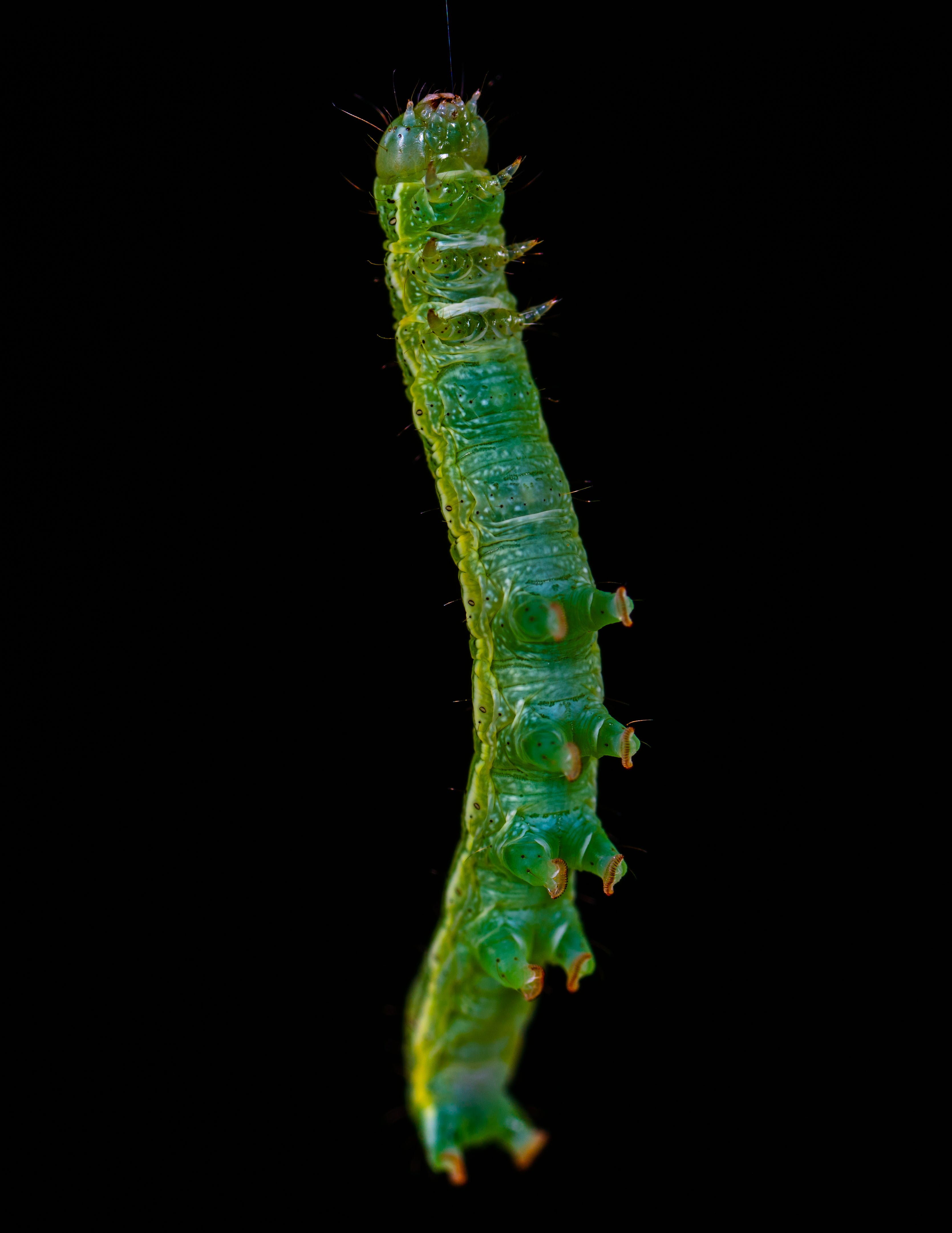 animal, black background, caterpillar