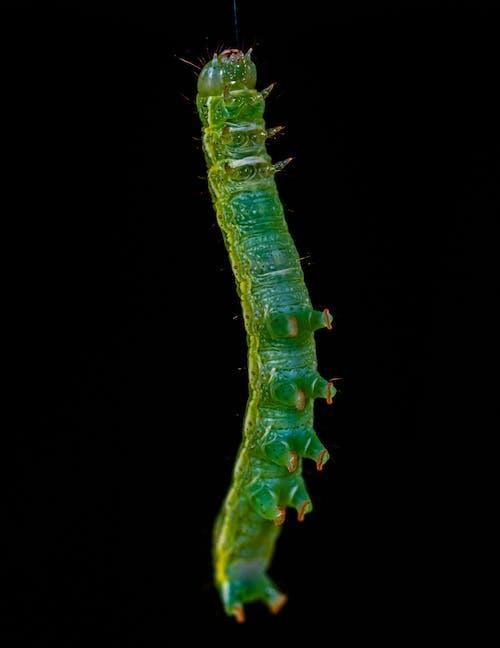 Ảnh lưu trữ miễn phí về ấu trùng, cận cảnh, côn trùng, côn trùng học