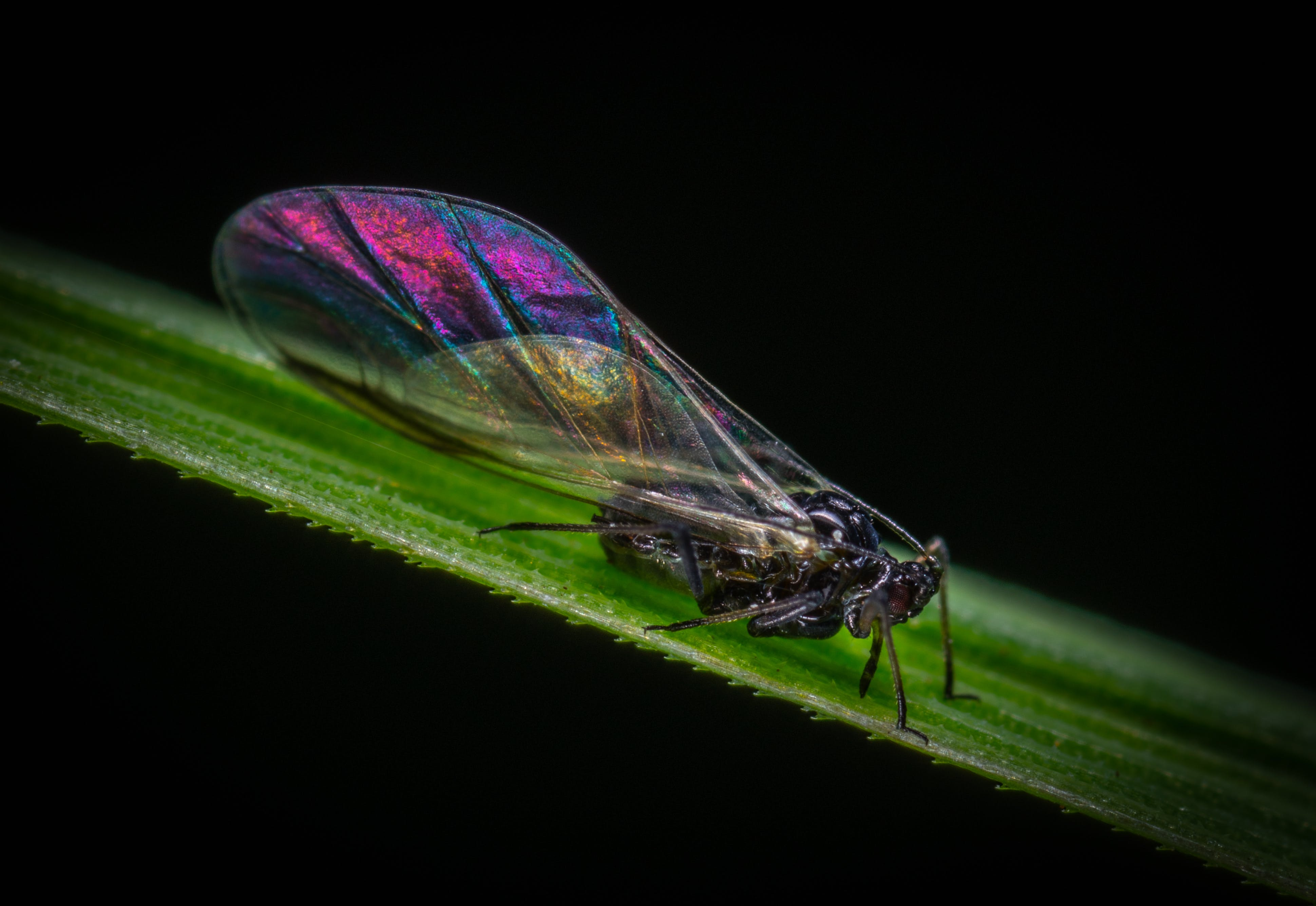 Purple, Black, and Brown Cicada on Green Leaf