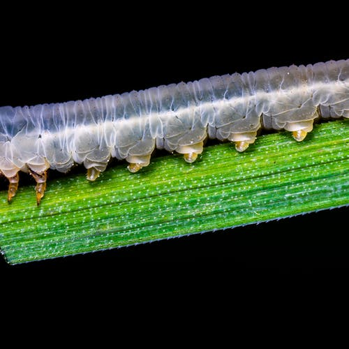 Gray Caterpillars That Are Big: Black Yellow And White Monarch Butterfly Caterpillar