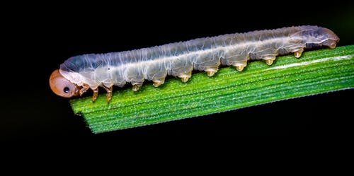Gray Caterpillar
