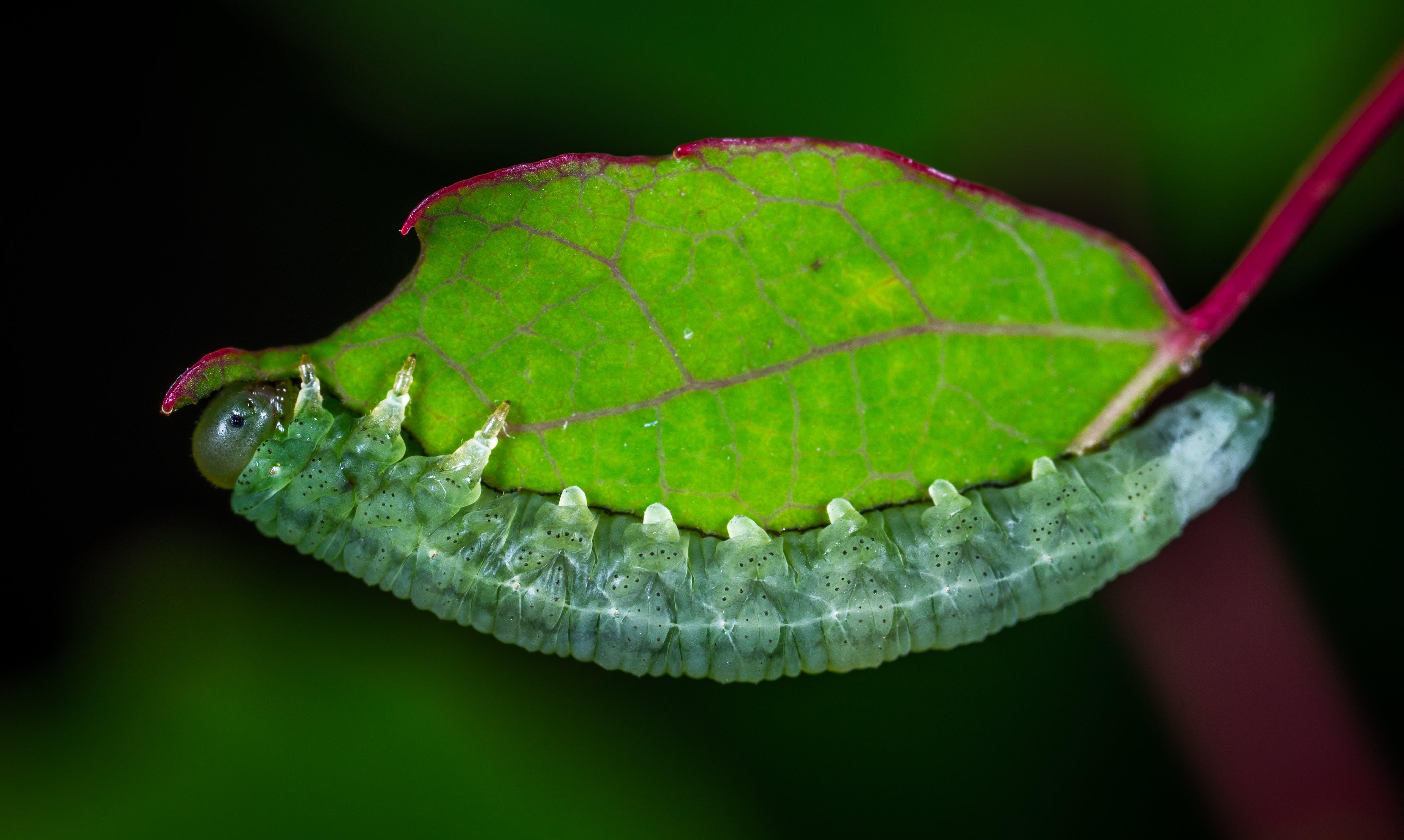 Free stock photo of insect, macro, larva