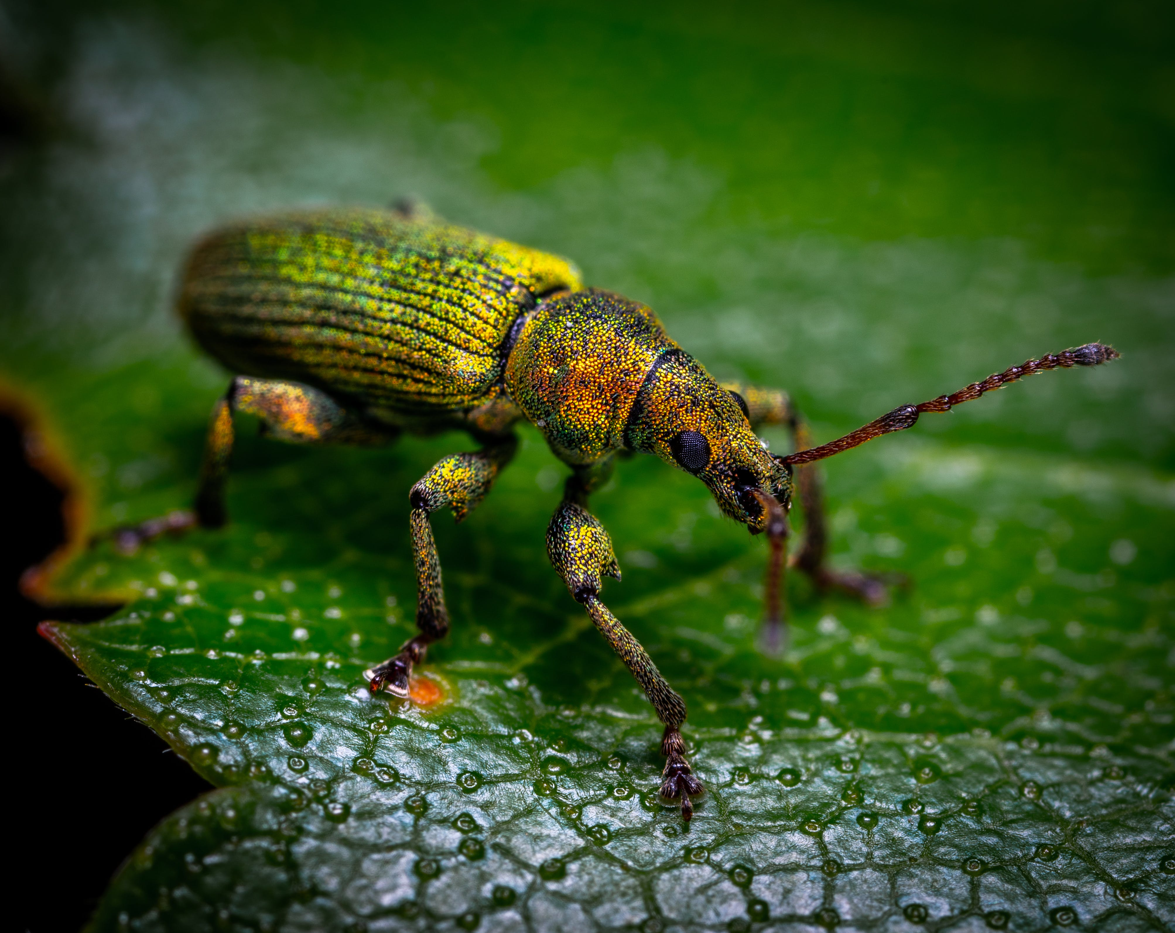 Green, Brown, and Yellow Weevil Perching on Green Leaf