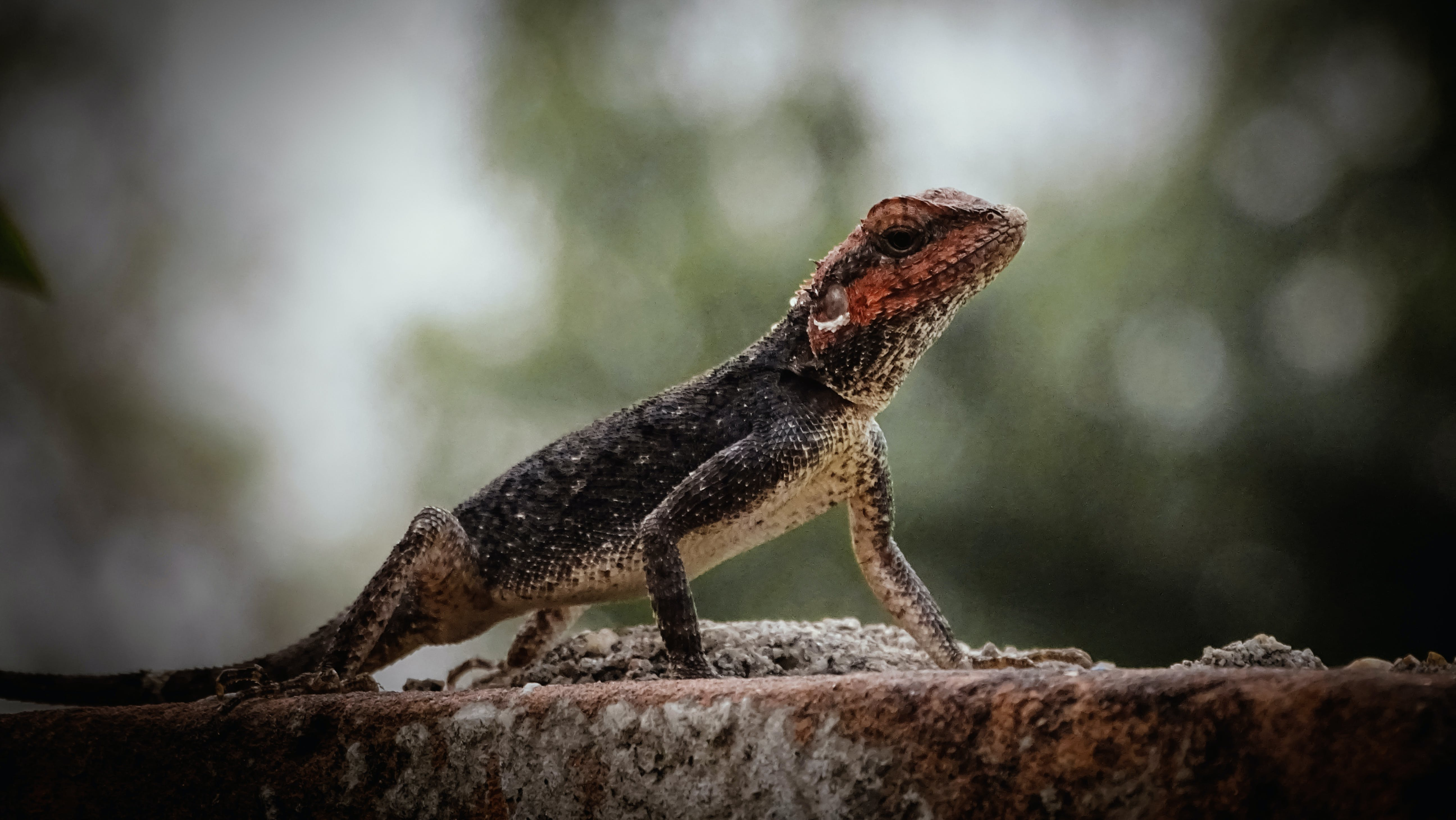 Free stock photo of animal portrait, image, lizard, nature