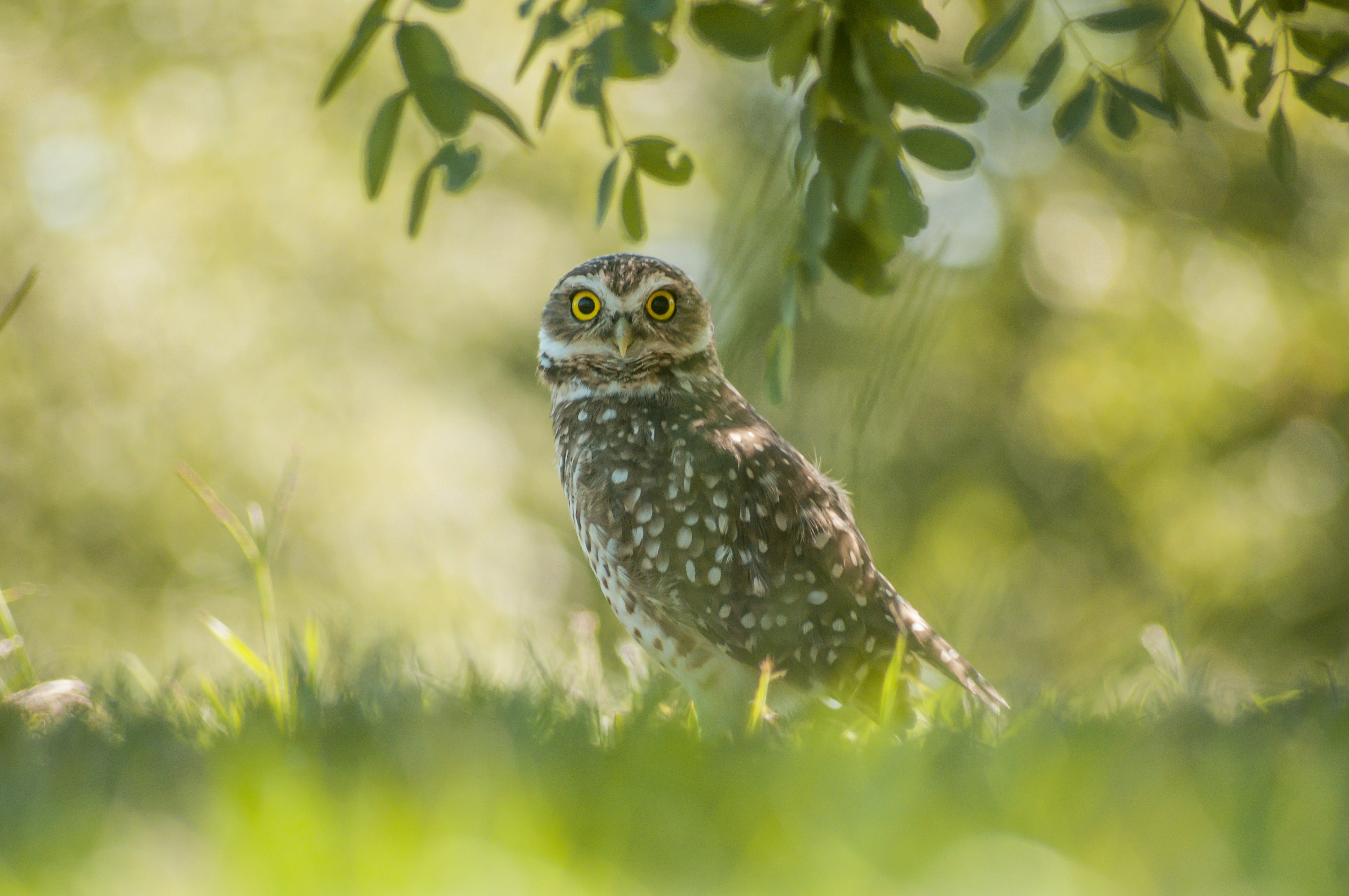 Brown Owl Standing on Grass