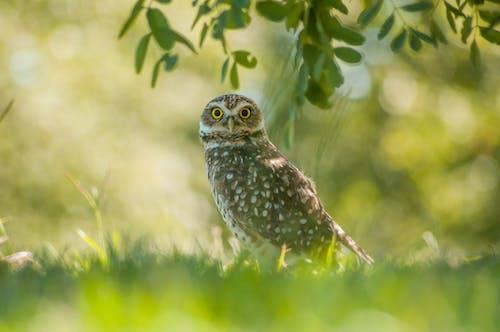 คลังภาพถ่ายฟรี ของ ขน, ดวงตา, นกฮูก, ป่า