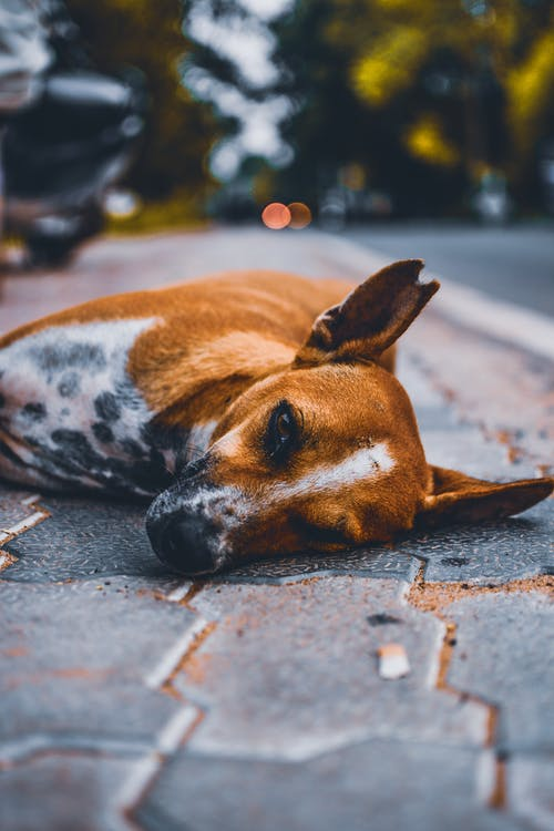 Selective Focus Photography of Brown and White Dog Lying on Road at Daytime
